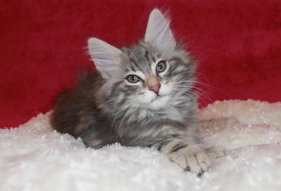Kot norweski leśny niebieski