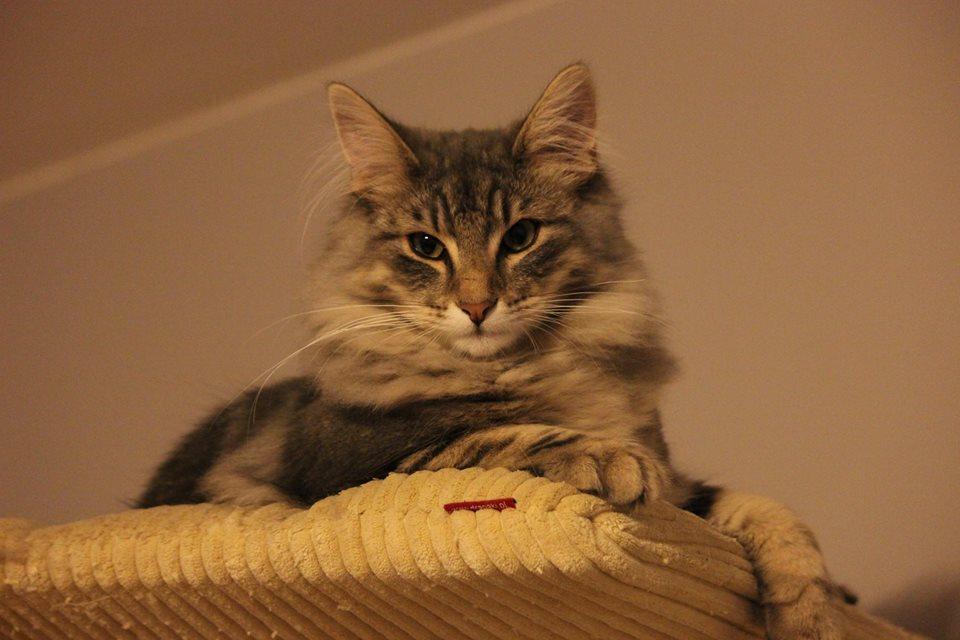 Kot norweski niebieski