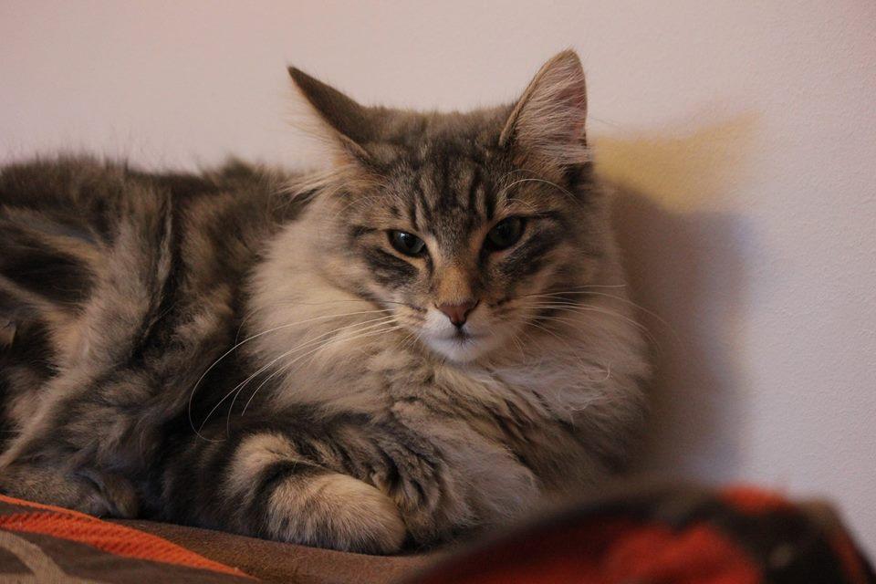Kot norweski leśny szary