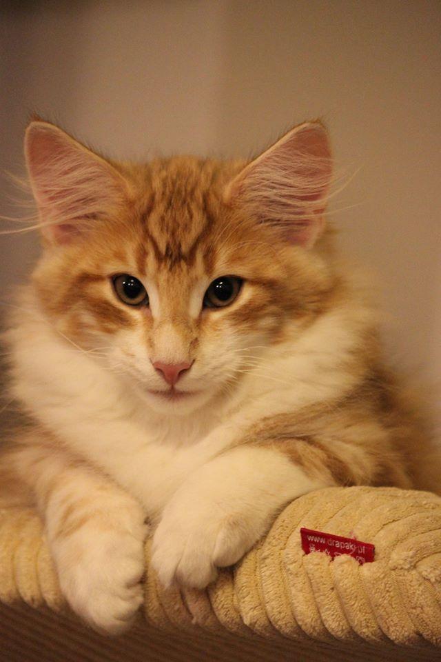 Koty norweskie leśne rude
