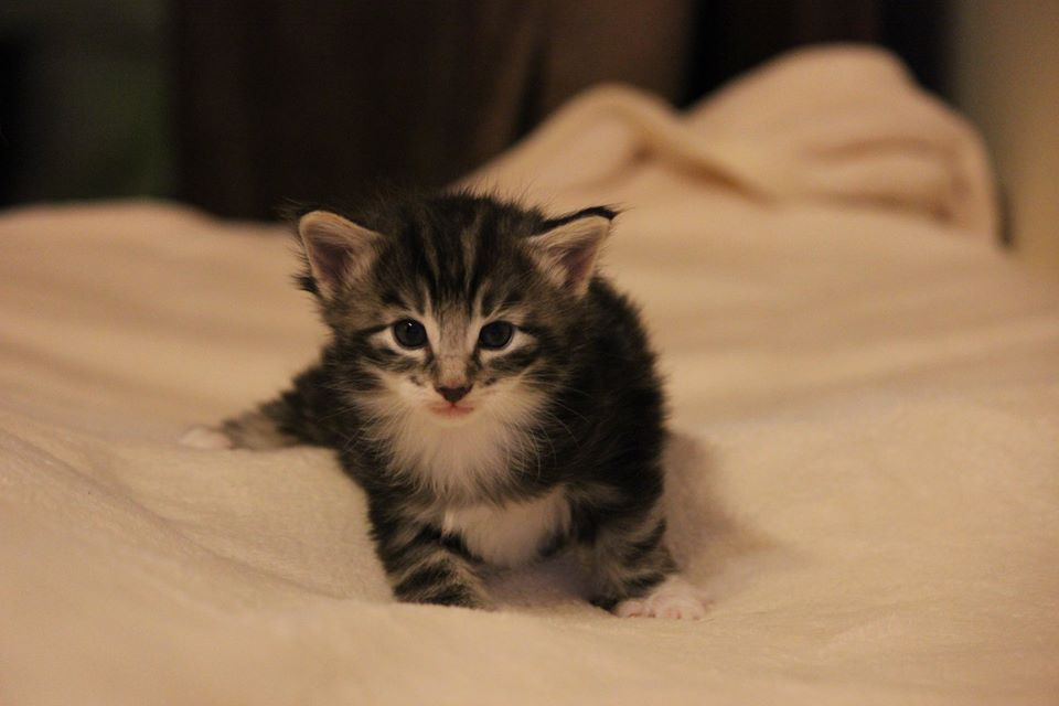 Kot norweski leśny czarny srebrzysty