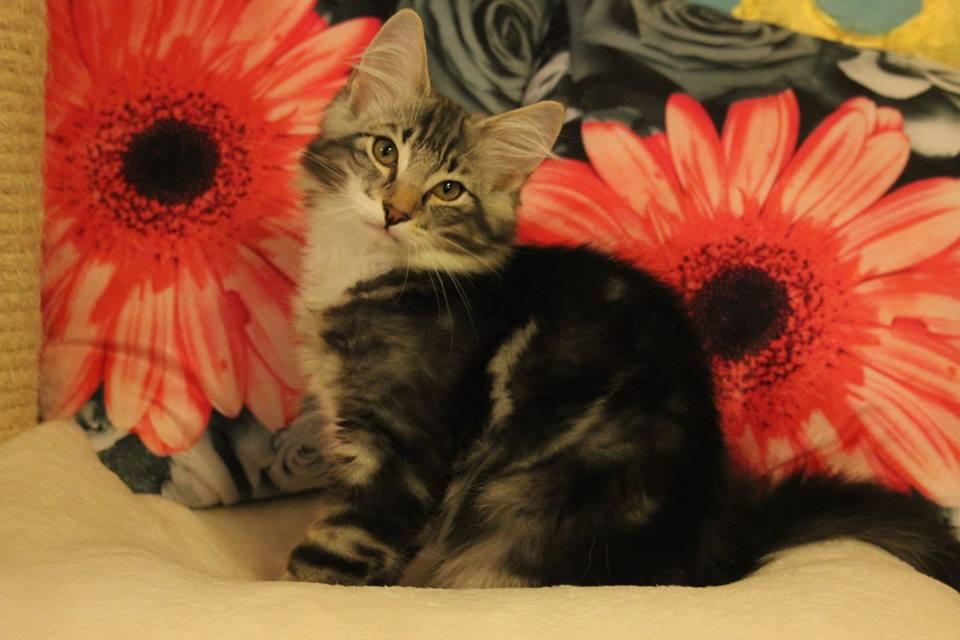 Kot norweski czarny srebrzysty