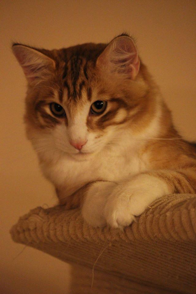 Kot norweski leśny ciemny bursztyn