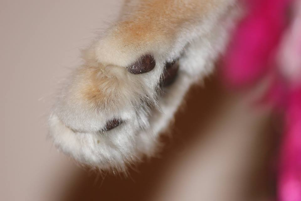 Kot norweski bursztynowy
