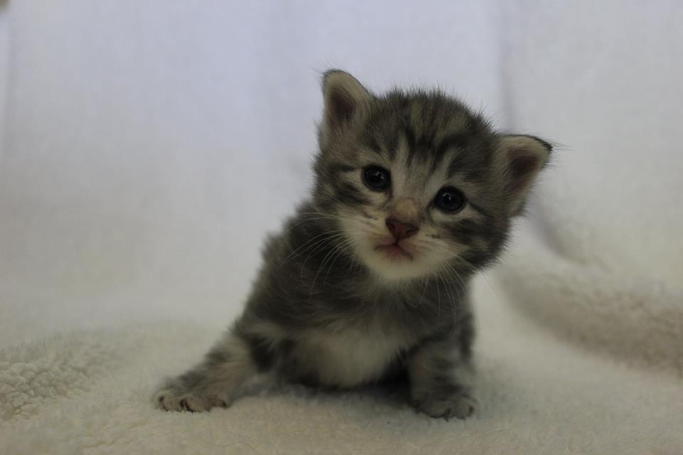 Kot norweski niebieski srebrzysty
