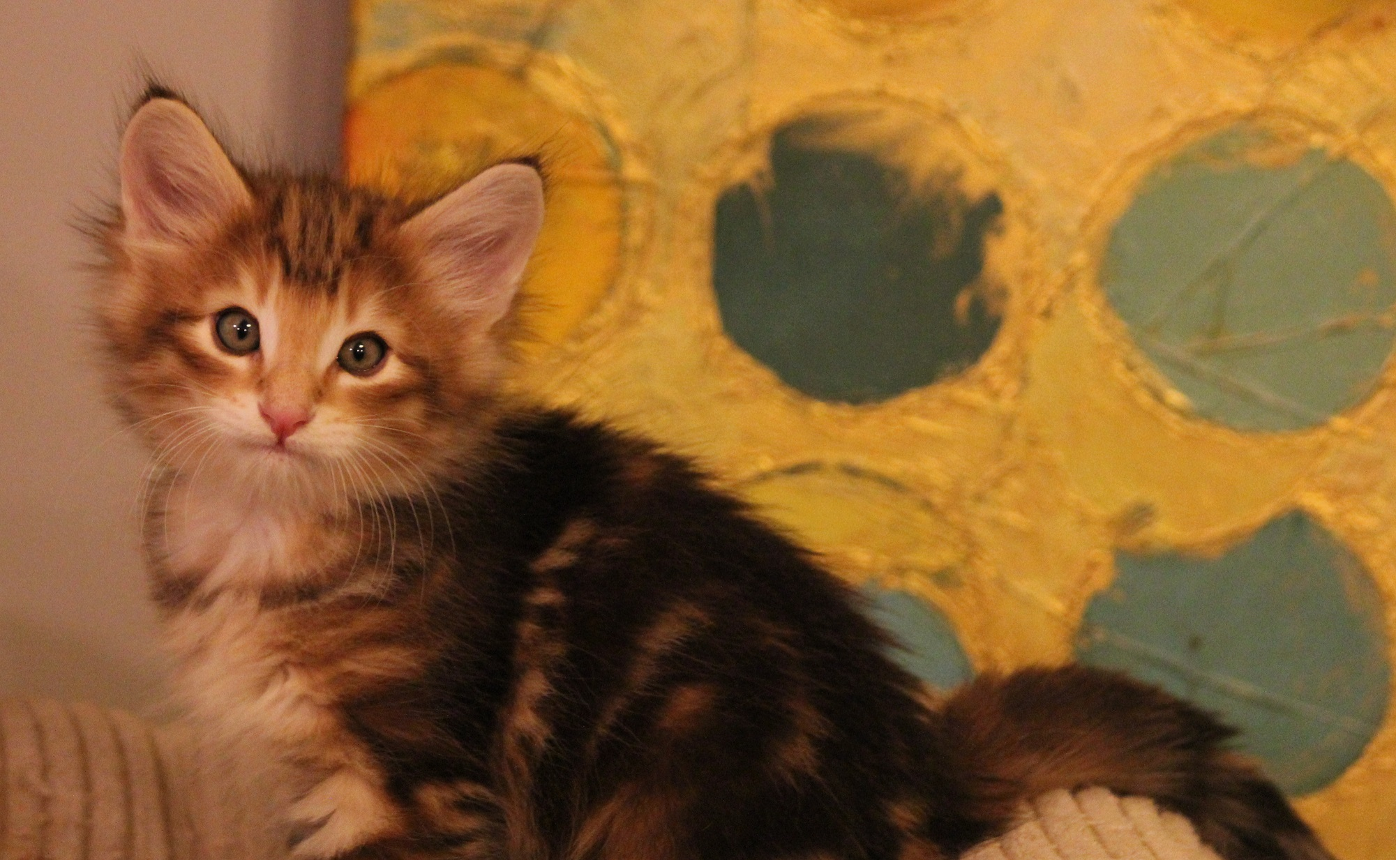 Koty norweskie amber